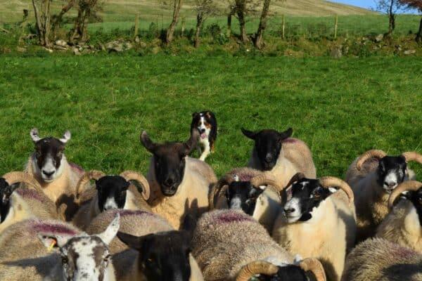 Glen gathering sheep
